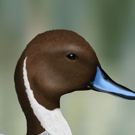 Pintail Head Study